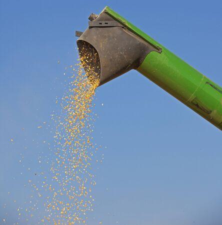unloading: Unloading corn