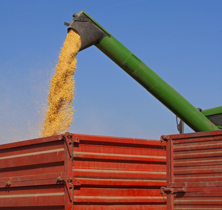 unloading: Unloading corn maize seeds