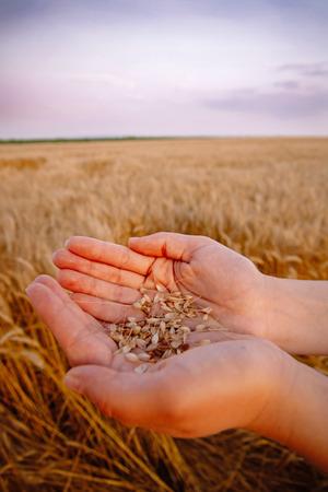 holding aloft: Beautiful female hands holds single barly plant on barley field.