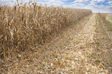 Maze corn field during harvest