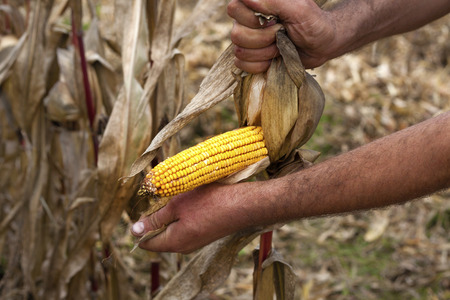 pealing: Pealing corn maize ear at harvest time