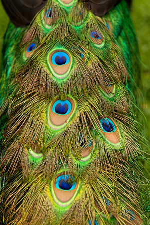animal body part: Male peacock eye-spotted tail