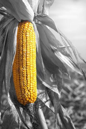 planta de maiz: planta de maíz del maíz maduro en el campo listo para cosechar. Zea mays subsp. mays Foto de archivo