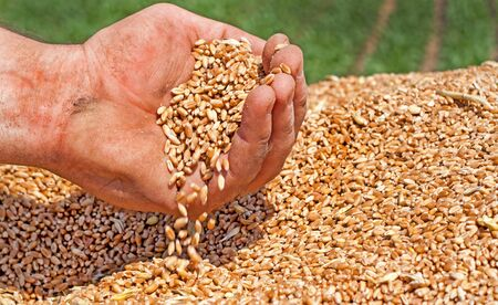 cereals holding hands: Farmers hand spillingh freshly harvester wheat grains Stock Photo