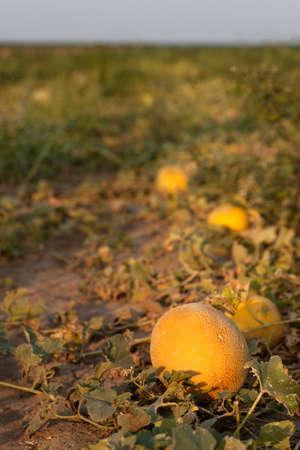 melon field: Melon on field Stock Photo