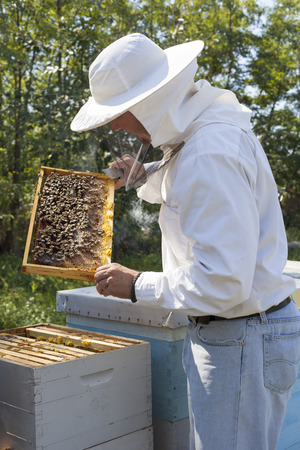 colony: Beekeeper checking bee colony