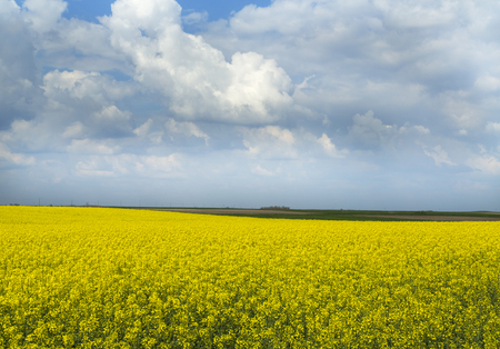 lear: Rapeseed canola crop field blooming at spring Stock Photo