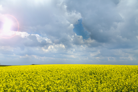 lear: Canola, rapeseed crops field flowering over blue couds