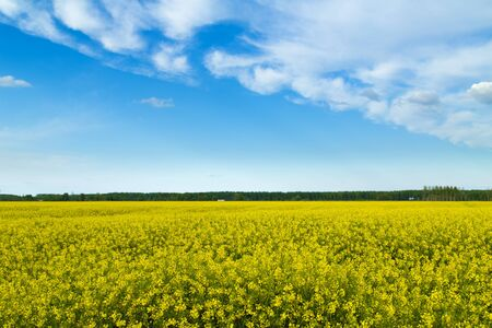 canola: Rapeseed, canola cops field blooming at spring