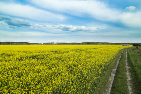 canola: Rapeseed, canola crops field at spring.