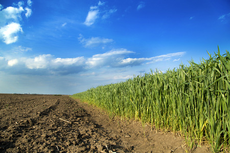 furrow: Growing wheat field next to arable land Stock Photo
