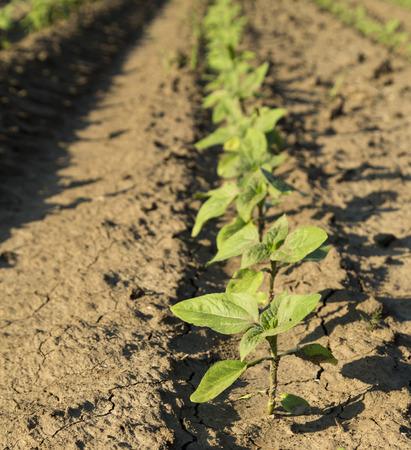 maturing: Close-up shot of green sunflower crops maturing on field Stock Photo