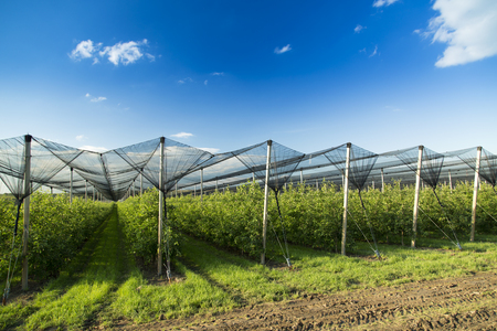 hail: Apple orchard covered with anti hail net Stock Photo