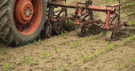 cultivator: Cultivating field of young corn crops with row crop cultivator machine