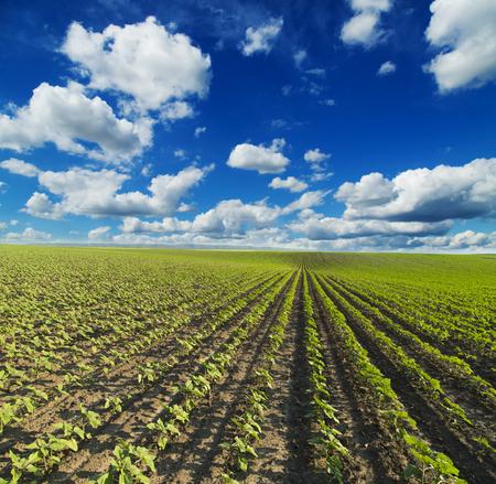 maturing: Green sunflower crops field maturing
