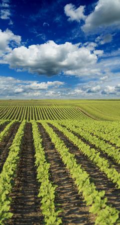 maturing: Green sunflower crops field maturing on hill Stock Photo