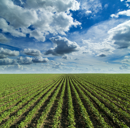 monoculture: Soybean field growing over blue sky with nice clouds. Hill landscape Stock Photo