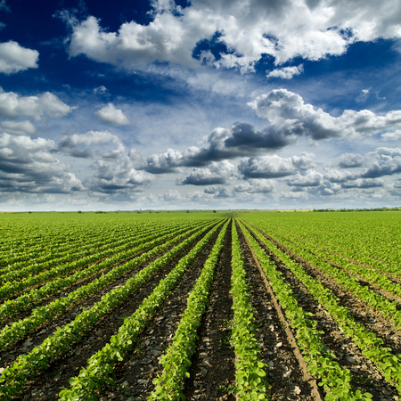 farm field: Soybean field ripening at spring season, agricultural landscape