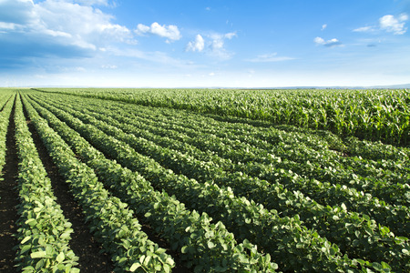 Soja naast maïsveld rijping op de lente seizoen, agrarisch landschap Stockfoto