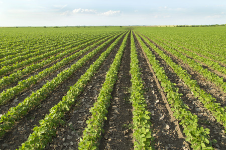 field: Soybean field ripening at spring season, agricultural landscape