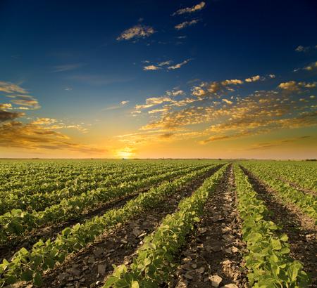 大豆畑の春シーズン、農業景観で熟成します。サンセット