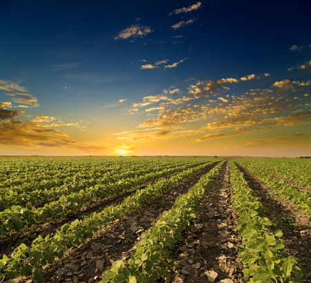 farm landscape: Soybean field ripening at spring season, agricultural landscape. Sunset