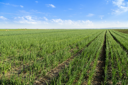 spring onion: Onion field, maturing at spring. Agricultural landscape Stock Photo