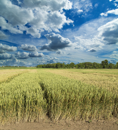 experimental: Growing wheat fields with different sorts and colors, experimental agricultural field