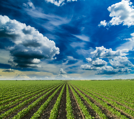 agricultura: Campo de la soja de maduración en la temporada de primavera, paisaje agrícola Foto de archivo