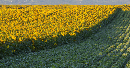 Sunflower field at dawn next to soybean field in flowering stage