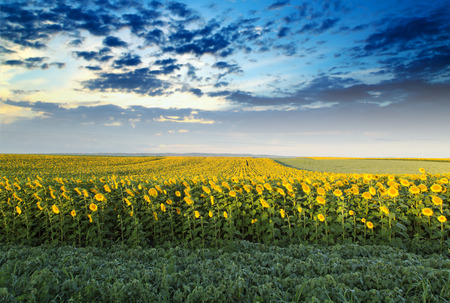 next stage: Sunflower field at dawn next to soybean field in flowering  stage Stock Photo