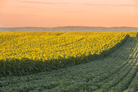 Sunflower field at dawn next to soybean field in flowering  stage Stock Photo