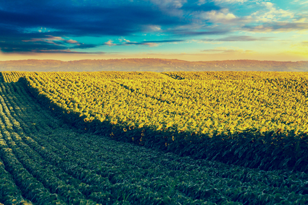 next stage: Sunflower field at dawn next to soybean field in flowering stage. Filtered instagram look