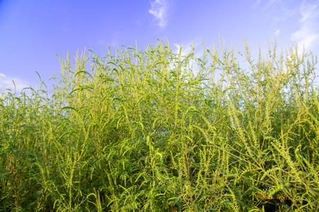 ambrosia: Ambrosia weed in full growth
