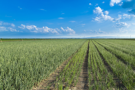 maturing: Onion field, maturing at spring. Agricultural landscape Stock Photo