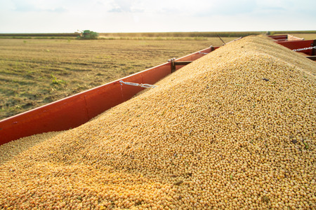 harvest: Soy beans in tractor trailer just harvested