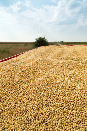 tractor trailer: Soy beans in tractor trailer just harvested
