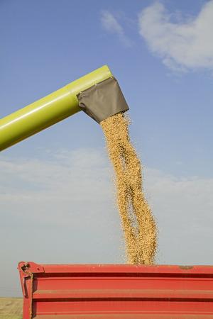 cosechadora: Cosechadoras se descarga semillas de soja despu�s de la cosecha