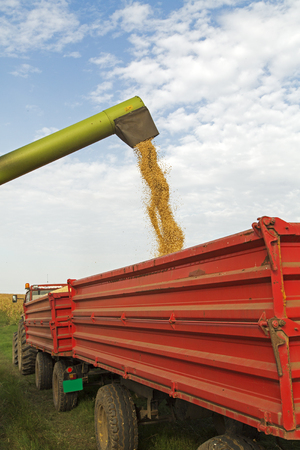 cosechadora: Combine harvester unloads soybean seeds after harvest