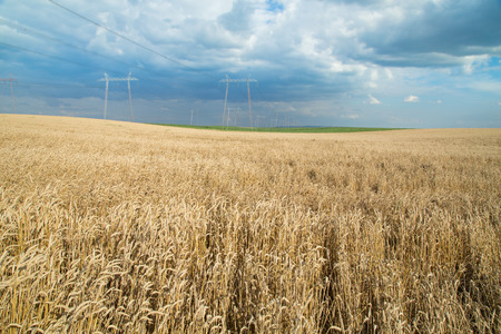 grain fields: Ripe wheat field over blue sky. Agricultural landscape