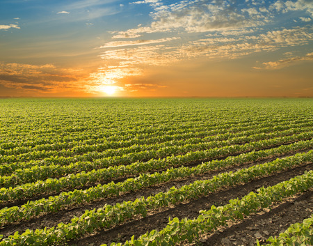 soybean: Soybean field ripening at spring season, agricultural landscape