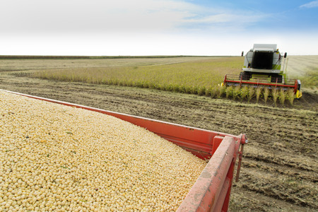 soybean: Combine harvester harvesting soybean at field