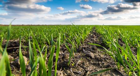 sprung: Close-up shot of green wheat field just sprung at autumn