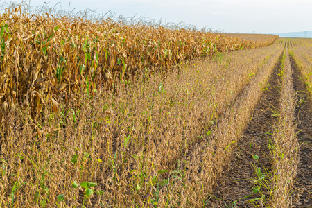 monoculture: Soybean field ripe just before harvest, agricultural landscape Stock Photo