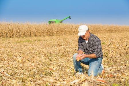 Farmer inspecting corn maize cobs during harvesting season at field