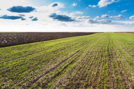sprung: Green wheat field just sprung at autumn