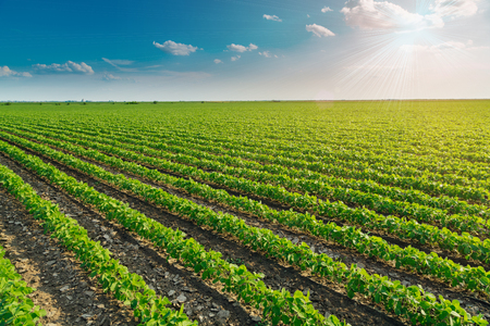 agriculture industry: Soybean field ripening at spring season, agricultural landscape