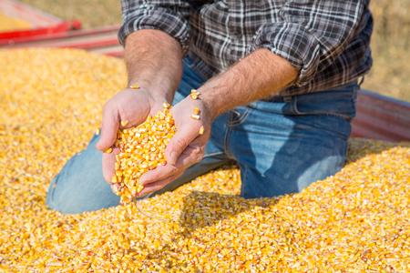 maiz: Las manos de los agricultores que muestran granos de ma�z reci�n cosechadas