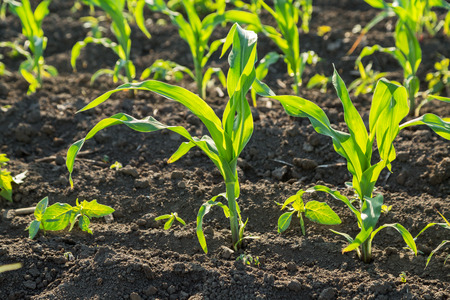 maize: Green corn maize field in early stage Stock Photo