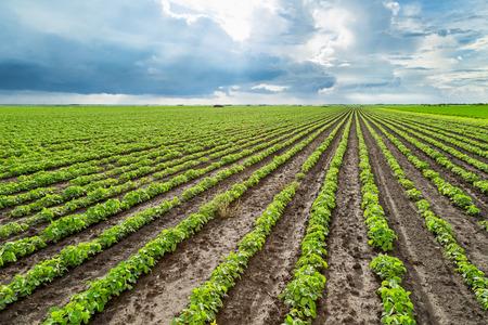 soybean: Green soybean plants